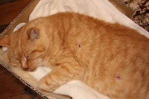 Tigger the cat from Papamoa was shot by air rifle pellets.