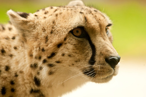 Violet D'Mello was attacked by a cheetah. Photo / The Aucklander