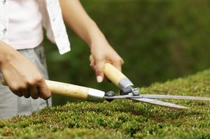 Give evergreen hedges a trim before winter sets in. Photo / Thinkstock