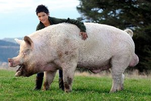Jack Thom (14) of Balclutha with Toby the Boar which is off the Cromwell. Photo / Peter McIntosh