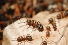 Ants are a scourge at this time of year. Photo / Thinkstock