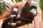 Palm oil farming threatens orang-utans in Indonesia. Photo / Paul Estcourt