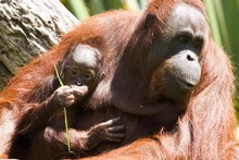 Palm oil farming threatens orang-utans in Indonesia.