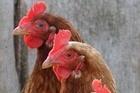 Free-range hens are often farmed on an industrial scale with 10,000 or more egg-layers. Photo / APN