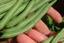 Dwarf beans will need tending over the late summer. Photo / Supplied