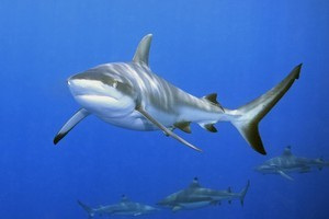 Shark numbers have declined by 90 per cent worldwide. Photo / Thinkstock