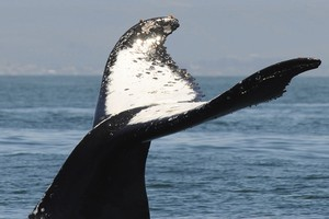 South Korea says it'll start whaling for 'scientific purposes'. Photo / Thinkstock