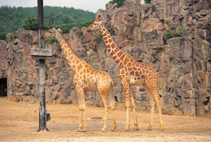 Two giraffes at a zoo in central Poland's Lodz died of stress. Photo / Thinkstock