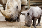 The zoo has a new baby rhino, born in March to mother Moesha. Photo / Christine Cornege