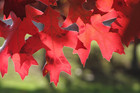 Autumn sees trees including the scarlet oak in all their finery. Photo / Katikati Advertiser