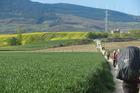 Walking through fields of canola en route to Puenta la Reina. Photo / Simon Winter