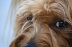Canine companions may get you with their 'puppy dog' eyes, but no one knows the thought processes behind them. Now, researchers are trying to figure that out via fMRI scans. Photo / Thinkstock