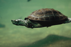 Freshwater turtles are crucial to river, creek, lake and pond ecosystems. Photo / Thinkstock