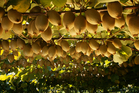 Psa, the disease that attacks kiwifruit, has already caused a lot of damage. Photo / Supplied
