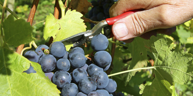Many bankers and financial advisers advise against anything to do with growing grapes and making wine, however, for Harakeke Farm, going against such advice has proven beneficial. Photo / Thinkstock