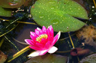 Waterlillies at Rapaura Watergardens. Photo / Nicky Park