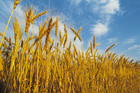 Scientists have linked the risk of liver failure and death to wheat being genetically modified in Australian tests. Photo / Thinkstock
