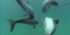 Watch: Raglan supports the endangered Maui dolphin 