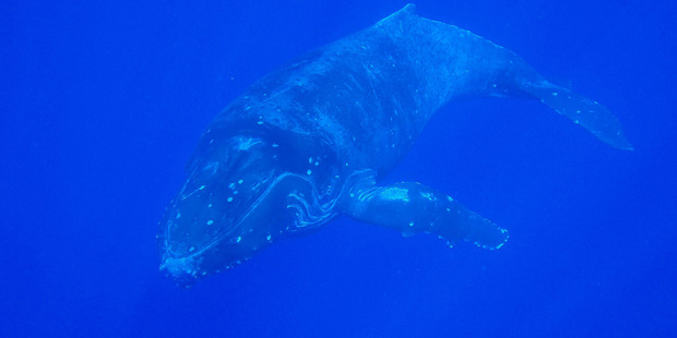 A humpback whale moves through Niue's waters. Photo / Niue Dive