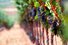 How would it feel to know the glass of wine in your friend's hand came from your own vineyard? Photo / Thinkstock
