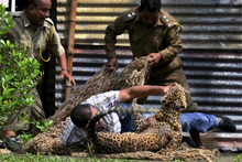 A man wrestles with a leopard as a forest official tries to catch it with a net in Duliajan near Dibrugarh in Assam state, India. Photo / AP
