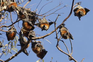 Ill-mannered flying foxes now face eviction from Sydney's Botanical Gardens. Photo / Thinkstock