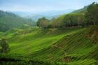 Tea plantations in Malaysia's beautiful Cameron Highlands. Photo / Thinkstock