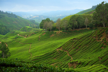 Tea plantations in Malaysia's beautiful Cameron Highlands. Photo / Thinkstock