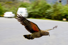 A curious Kea on the road to Milford Sound. Photo / Dean Pucell