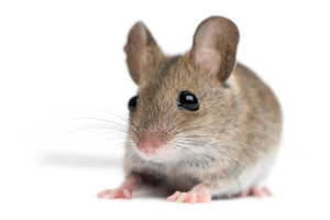 A mouse is believed responsible for an American man getting inflected with the plague. Photo / Thinkstock