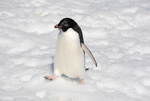 What the Adelie penguin got up to so shocked a researcher with Scott in the Antarctic that he published in Greek - lest anyone be offended. Photo / file