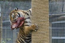 Sendiri the Tiger at the Orana Wildlife Park. Photo / Simon Baker