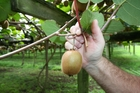 A chemical spray called streptomycin was misused on 45 different kiwfruit orchards by 26 growers. File photo / NRC