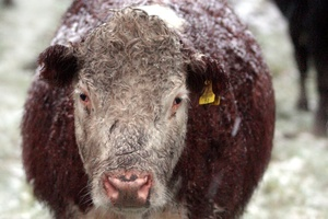 Freezing wind killed many cattle in just hours. Photo / APN