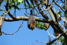 The famed bat colony of Sydney's Royal Botanic Gardens is being scared off. Photo / File