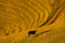 The median price per hectare for all farms sold in the three months to June 2012 was $17,565. Photo / Amos Chapple