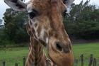Harold the giraffe. Photo / supplied