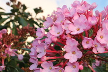 Brighten your garden with the colourful flowers of the Himalayan Luculia. Photo / Supplied