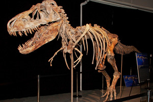 The fossil of a Tyrannosaurus bataar dinosaur at the center of the lawsuit. Photo /AP