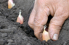 Make sure your soil is well-prepared before you try to grow garlic. Photo / Thinkstock