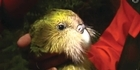 Watch: The Kakapo's future looks bright
