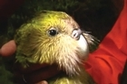 Flightless and slow-moving, New Zealand's kakapo parrot is on the verge of extinction. But a mammoth conservation effort stretching back decades is offering hope for one of the world's rarest birds, lifting its numbers from about 50 in 1990 to 126 this year.