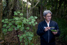 Charles Royal, who will be doing cooking with native kai for Matariki at an event in Muriwai this weekend, forages for food in the bush. Photo / Kellie Blizard