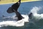 New Zealand Herald reader John Sutherland was out in his boat Shark Bait on June 14 and filmed this fantastic footage of about 25 to 30 Orca whales playing in Chamberlain's Bay at the back of Ponui Island near Auckland. He has seen them there before at this time of the year but not in these large numbers. Usually there are between 5 to 7 whales in a Pod but this day John counted over 25 in the pod playing. A truly amazing experience he will never forget.
