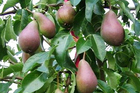 Winter is the time to get planting your fruit trees to reap the sweet rewards later. Photo / Dannevirke News