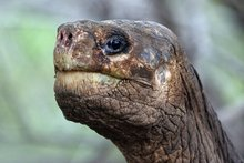 Lonesome George was the last known individual of the Pinta Island Tortoise species. Photo / AFP