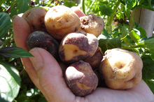 Some days are suited to planting potatoes, like these Maori varieties. Photo / Meg Liptrot