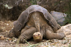 Lonesome George has died leaving a space for another rare species. Photo / AP