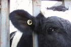 A radio frequency identification tag used to track cattle as part of the National Identification Animal Tracing scheme. Photo / Supplied