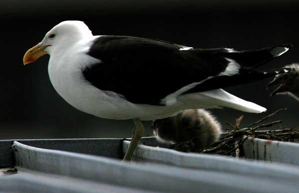 The black-backed gull